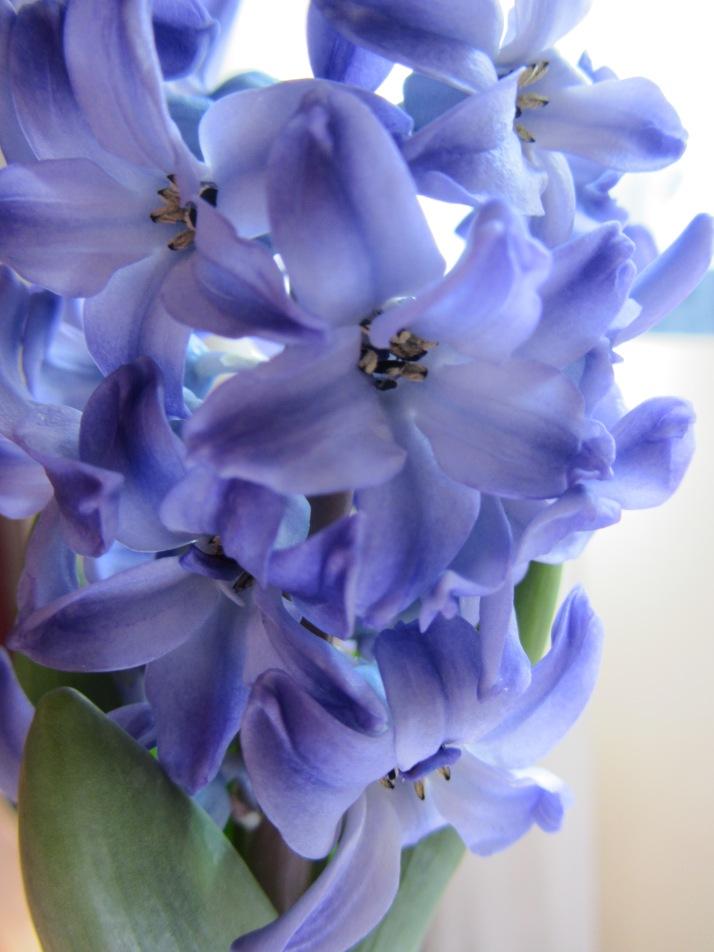 Narcisos. Foto: Bárbara