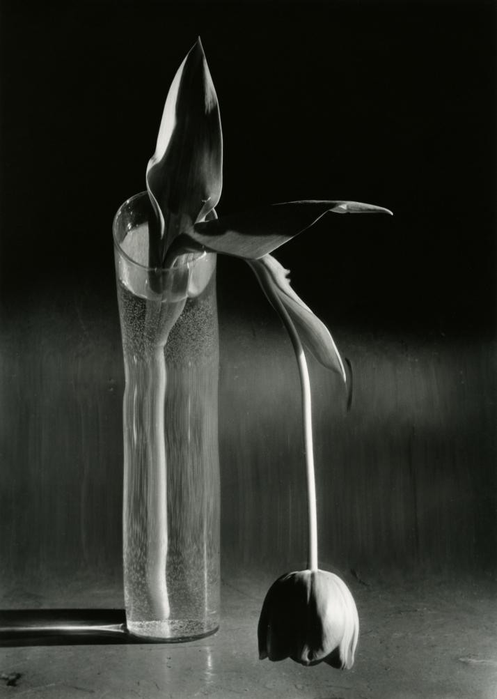 """André  Kertés<: """"Tulipán melancólico"""". 1939, N.Y."""