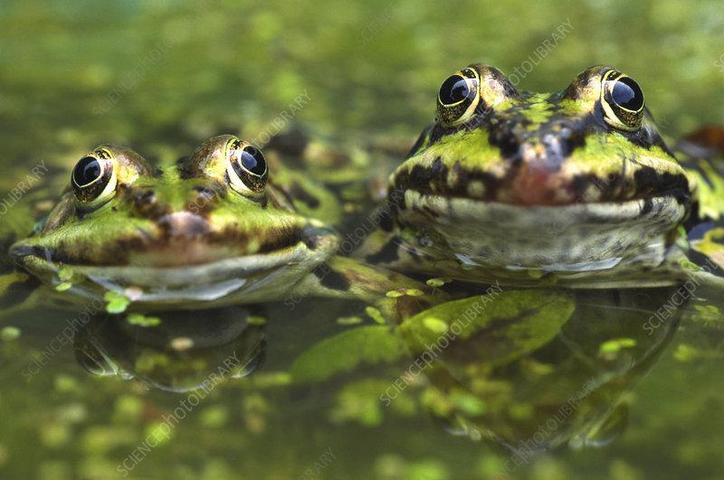 European edible frog amongst duckweed, the Netherlands
